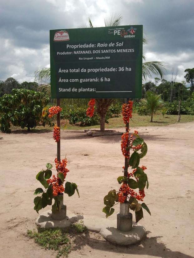 Propriedade que realiza a produção de guaraná
