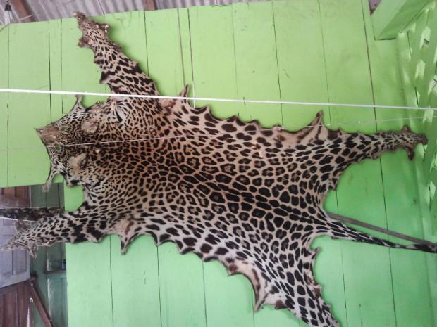 Pele de animal capturado e exposto na residência de um rebeirinho.  e