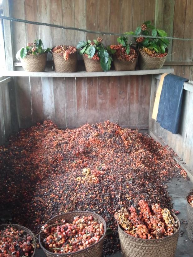Frutos do guaraná na propriedade de um agricultor familiar.