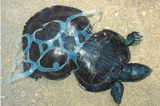 Tartaruga presa por plástico - Foto: Google Imagens