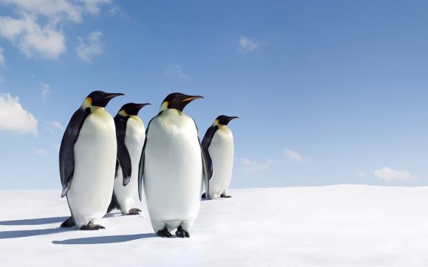 Pinguim-imperador - Fonte: Google Imagens