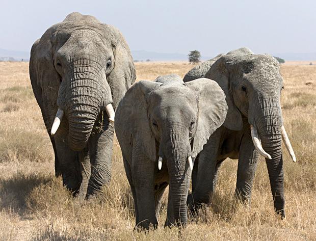 elefante-africano-extincao