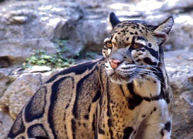 leopardo-nebuloso-extincao