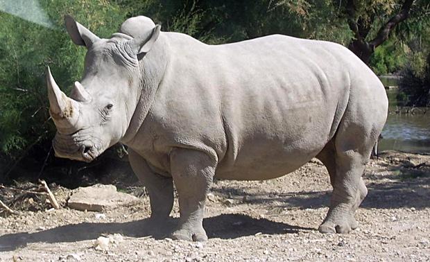 rinoceronte-branco-extincao