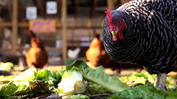 criar-galinhas-grupo-loby-3