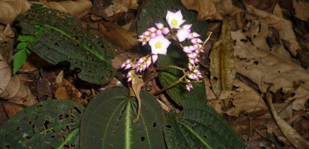 B. duasbocaensis1