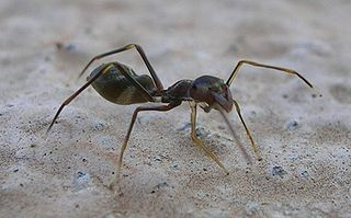 320px-Ant_Mimic_Spider