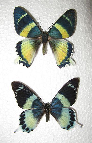 Alcidis_agathyrsus_&_Papilio_laglaizei