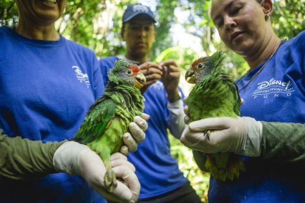 Pesquisadores da SPVS monitoram anualmente a população do papagaio-de-cara-roxa (Foto: Arnaldo Belotto/PADF)