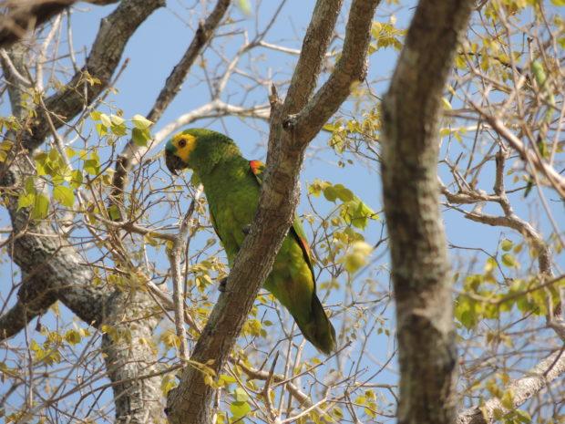 Por sua capacidade de imitar a fala humana, o papagaio-verdadeiro é a espécie que mais sofre com a retirada de filhotes da natureza (Foto: Jaire Marinho)